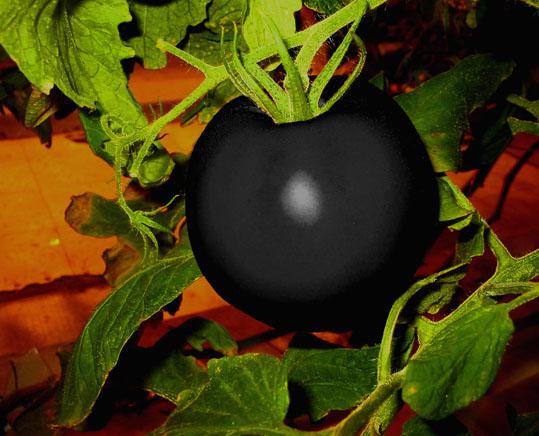 6ブラックトマト《6流》《6流》《41流》190.jpg